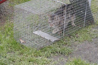 target striped moggie in a live trap to go to the vet