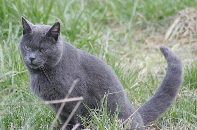 photo of feral Gray Cat, a russian blue type, sitting in grass