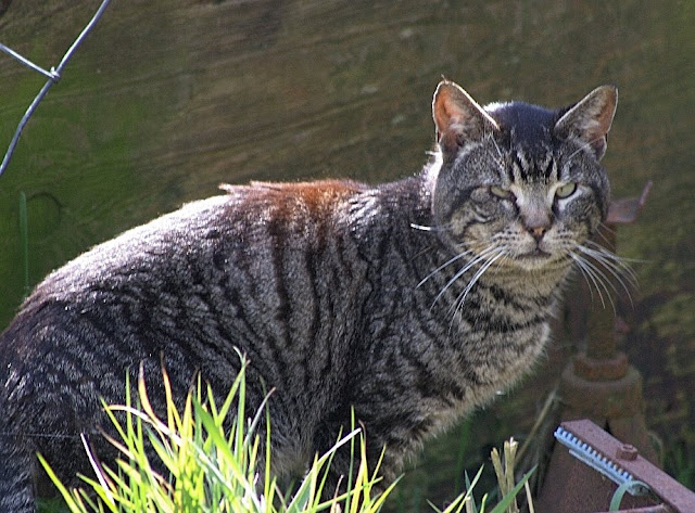 The feral tabby cat called Suspicious Cat