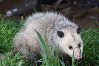 A possum visits a feeding station