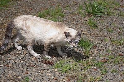 Fran, former feral kitten, Siamese friendly cat