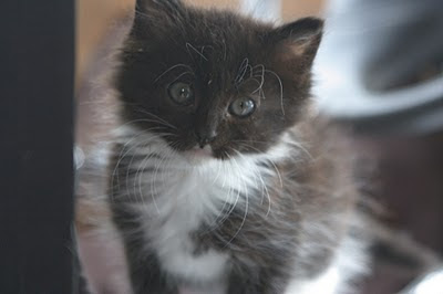 Tuxedo feral kitten, fuzzy with beautiful eyes, hoping for a home