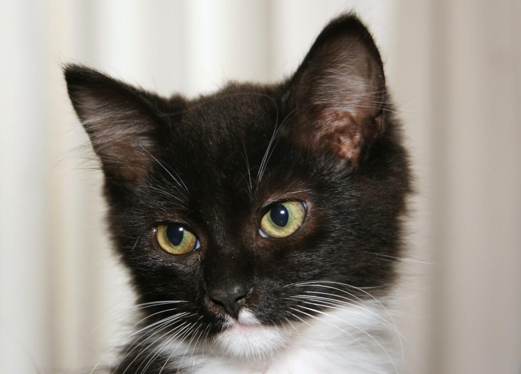 wishe the tuxedo kitten today the feral life cat blog