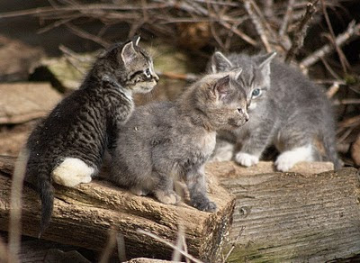 3 feral kittens including a tabby and a muted calico or muted tortie