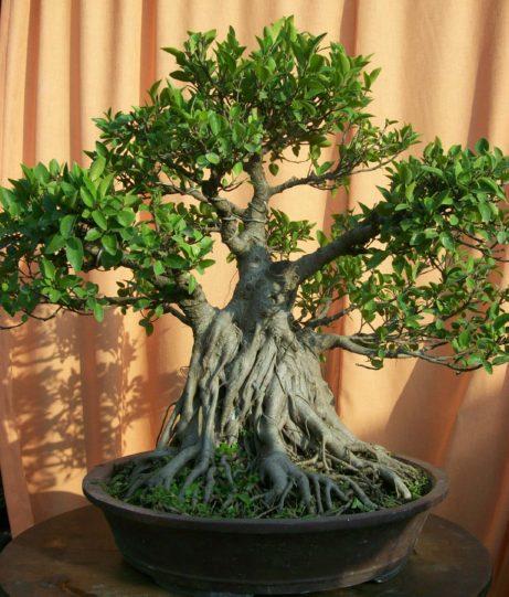 bonsai ipik