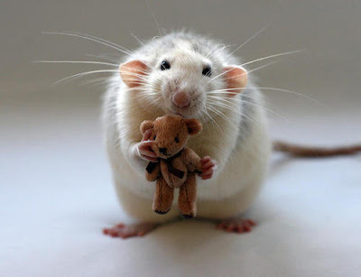 a pet rat