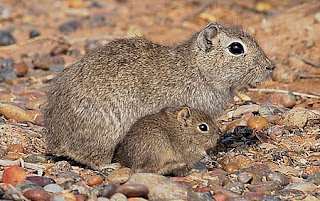 Southern Mountain Cavy – The Rodent from El Doradillo