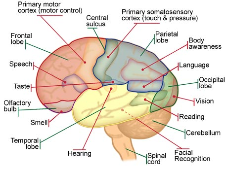 Brain Diagram No Labels
