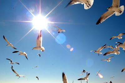 gavivotas em pleno vôo, em dia de sol