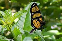 Methoma themisto, a borboleta do manacá