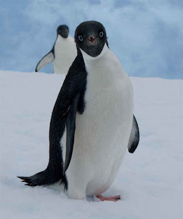 Curious penguin in Antarctica