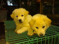 breed kintamani puppies dogs