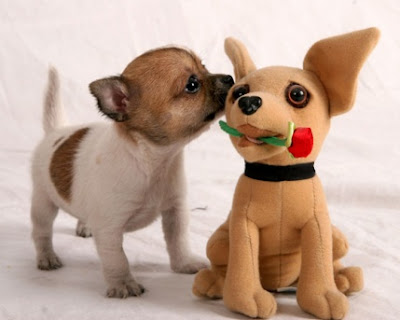 chihuahua puppy dog cute