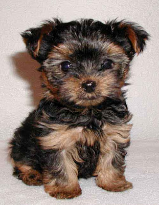 Yorkshire Terrier Puppies on Yorkie Yorkshire Terrier Puppy Jpg