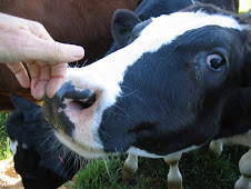 Cow Licks
