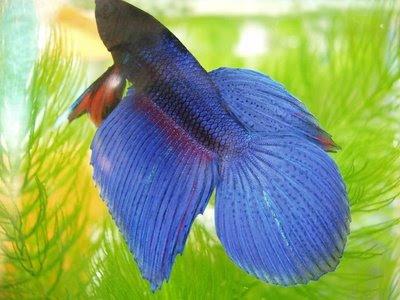 http://3.bp.blogspot.com/_jvsM6klryUg/SV6V-X3ZmtI/AAAAAAAACHE/FQizzZvjO-U/s400/beta+fish.jpg