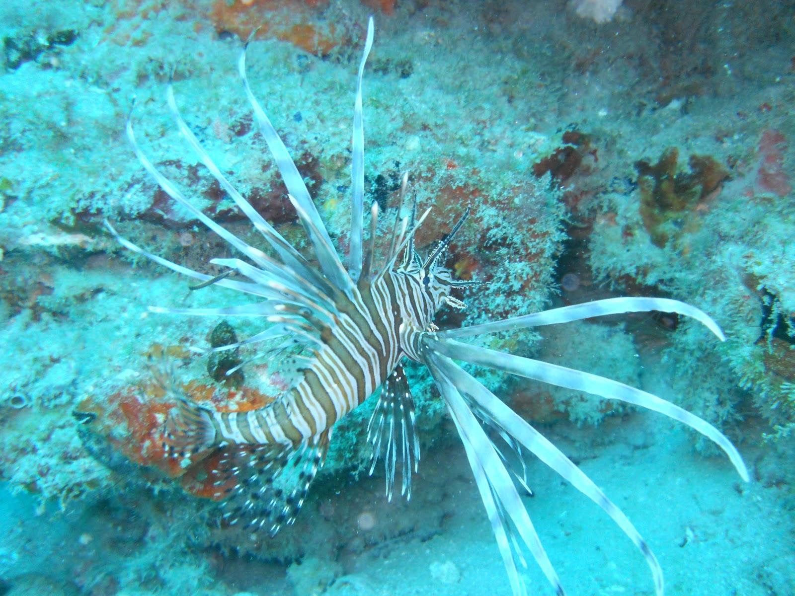 Red Lionfish Invasive Species