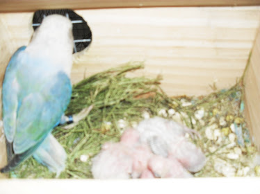 agapornis rosicolis azul opalino