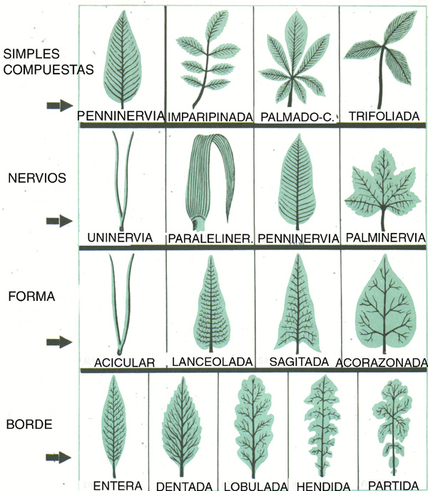 Miriam mateo tipos de hojas for Tipos de hojas ornamentales