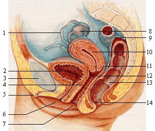 Anatomie van de vrouw