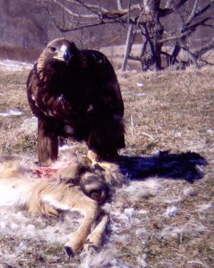 2-3 year Golden Eagle