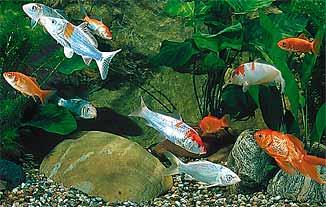 A tutta natura storia di un pesciolino dorato il pesce for Pesci rossi piccoli