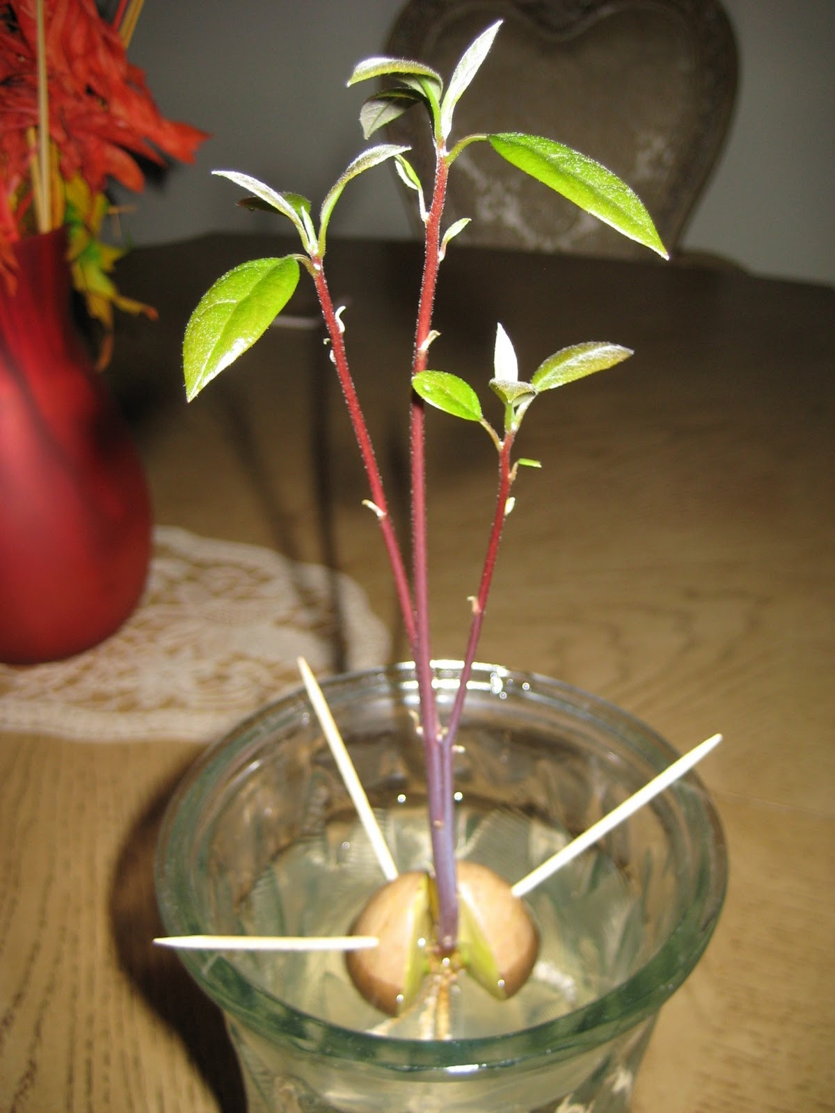 How to grow an avocado tree from an avocado pit the auto for How do you grow an avocado seed