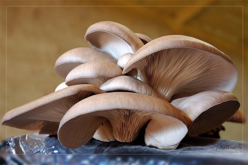 los hongos en la alimentacion y medicina: