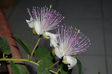 Flores Alcaparras
