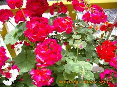 Bunga-Bunga Cameron