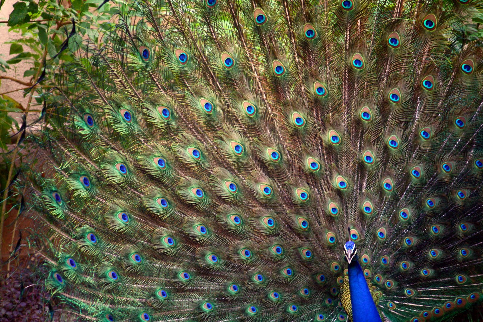 essay on national bird peacock The national bird of india is pavo cristatus, commonly known as the indian peacock or the indian peafowl the male birds (peacocks) are more brightly coloured and beautiful than the females (peahens.