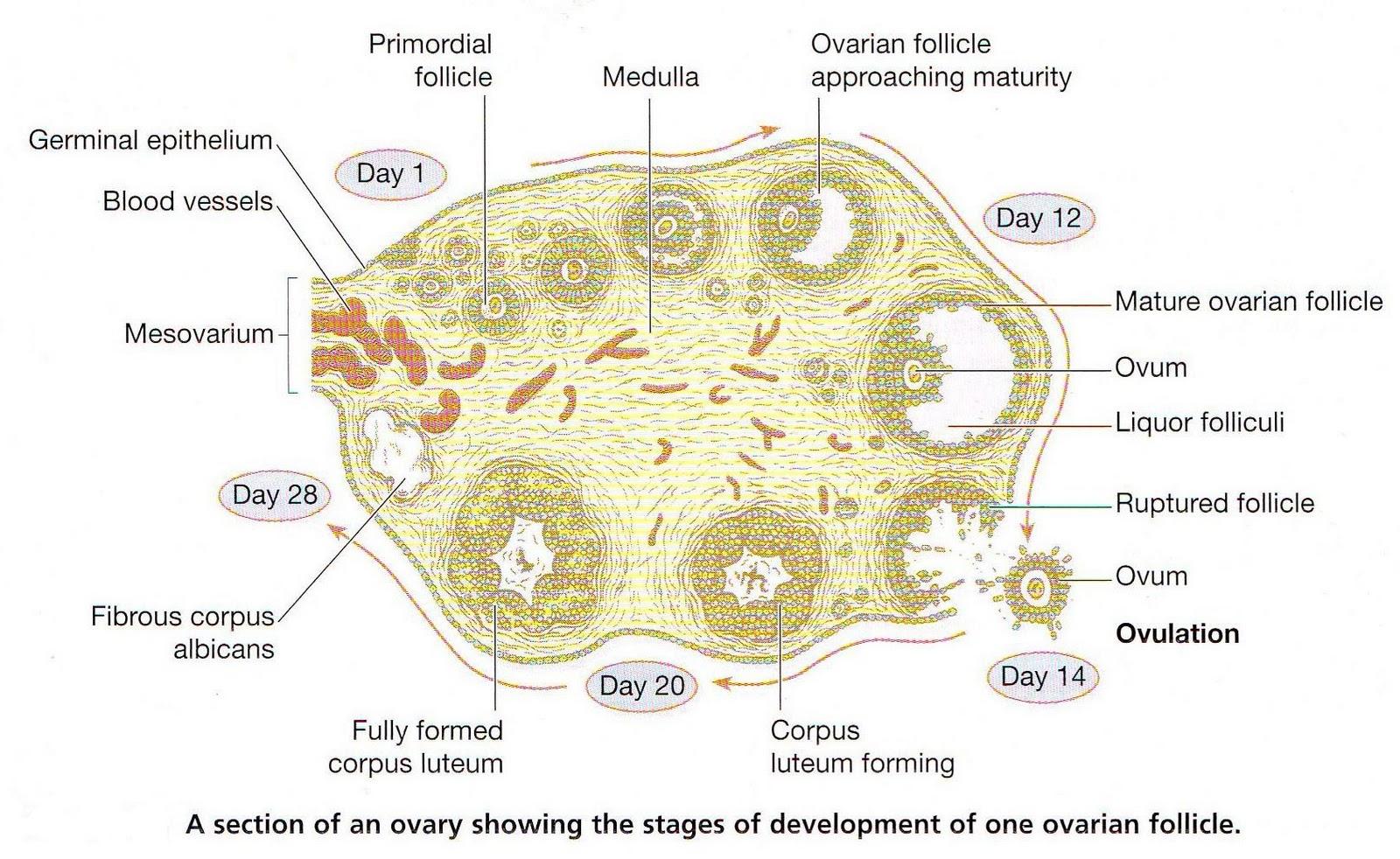 Ovary Flower Cross Section प्यारी म...