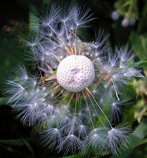 white+seeds White