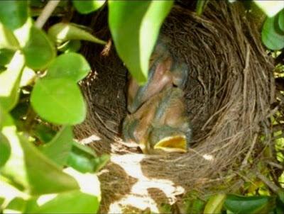 filhotes de sabiá no ninho