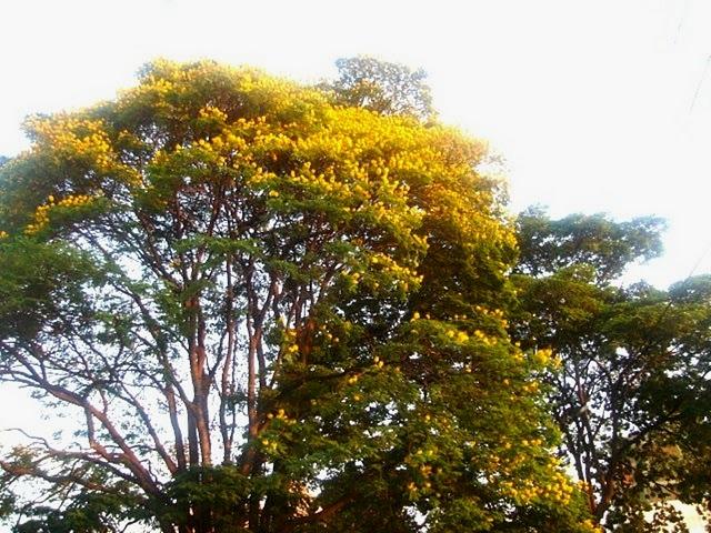 Sibipiruna florida
