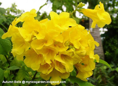 This Perennial Small Tree Or Shrub With Large Heads Of Showy Golden Yellow Trumpet Flowers Is Heat Tolerant And Pest Resistant
