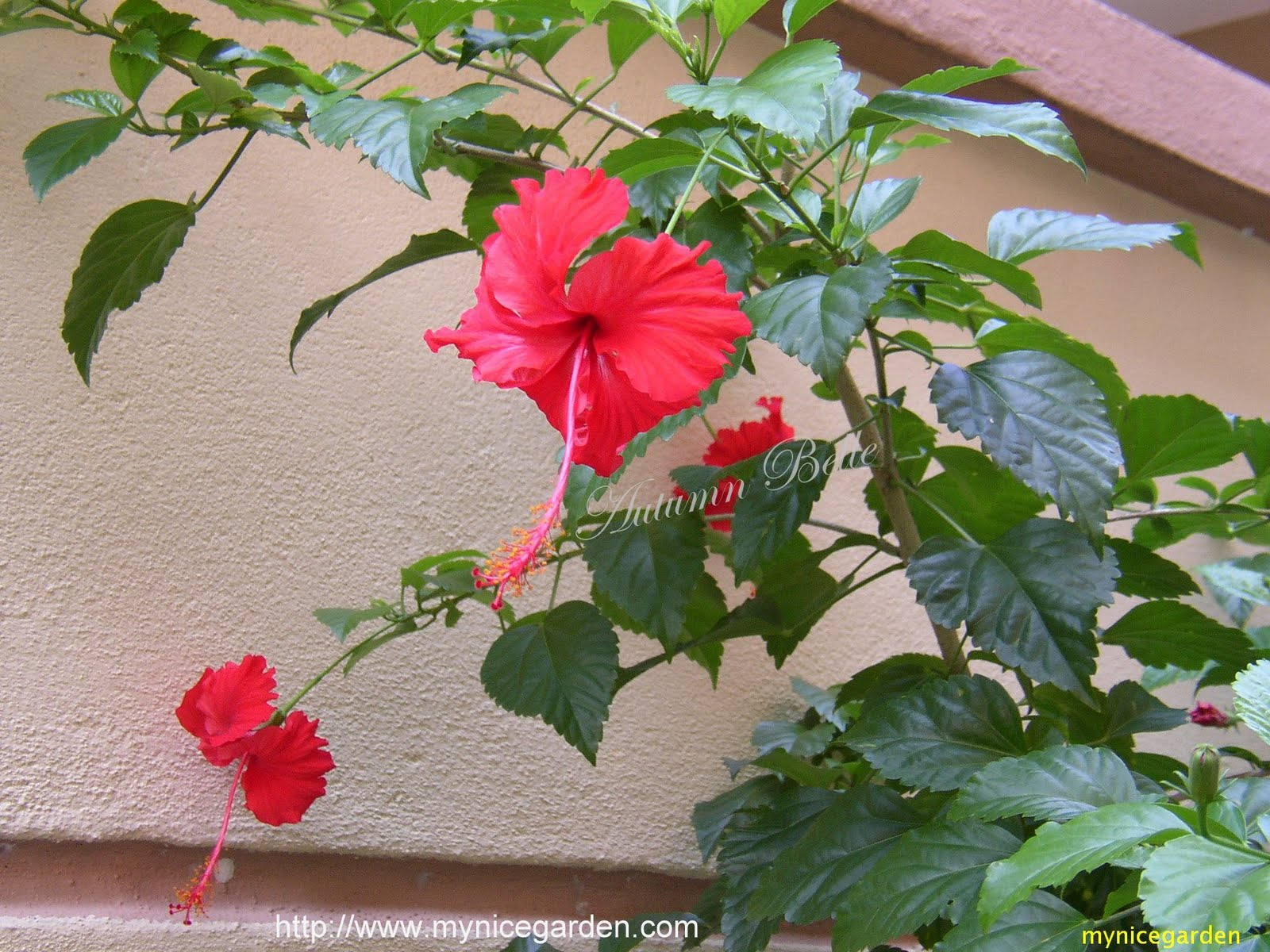 My nice garden hibiscus the national flower of malaysia izmirmasajfo Images
