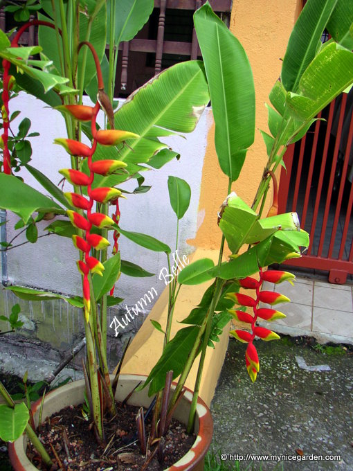My Nice Garden: Heliconia rostrata The Hanging Lobster Claw