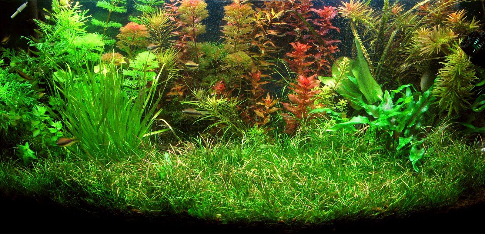 Acquario blog foto maggio 2010 for Piante acquario