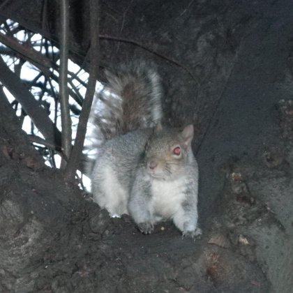 grey squirrel in Green Park