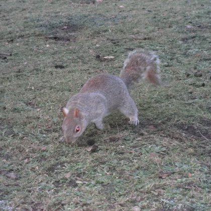 squirrel in St James Park