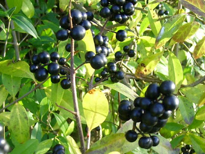 privet berries, Ligustrum Vulgare