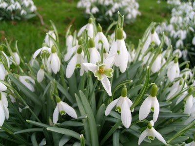 Photo Labels: flower, Galanthus nivalis, snowdrops, spring