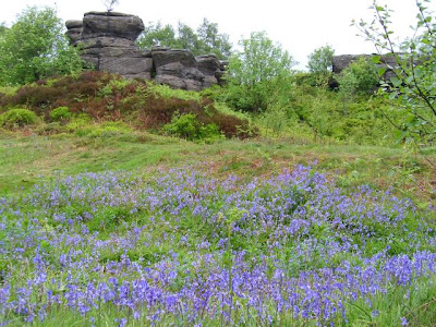 bluebells at Brimham Rocks in the Yorkshire Dales
