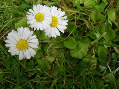 flower, Daisy, Bellis Perennis