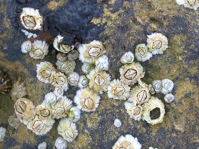 Acorn Barnacles, Semibalanus balanoides