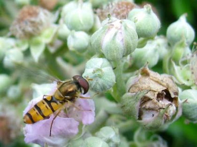 hoverfly, similar to Syrphus ribesii