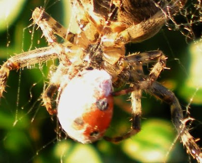 garden spider and ladybird