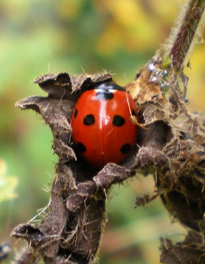 photo of ladybird on nettles, coccinella 7-punctata
