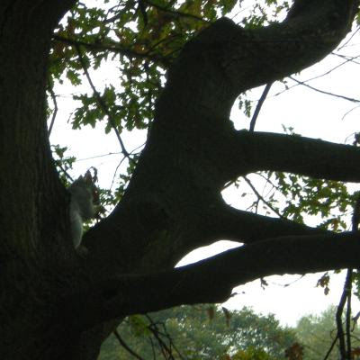 sciurus carolinensis, grey squirrel